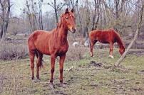 konie szczapy