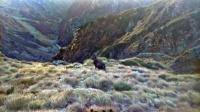 dzikie zwierzę kozica górska