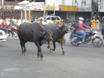 muły na ulicach