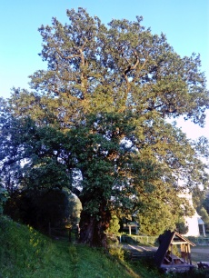 1000 letni dąb we wsi Stuzica
