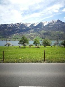 szwajcarska klasyka - krówki, łąki, jezioro i Alpy w tle