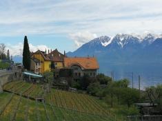 winnice na zboczu jeziora Genewskiego