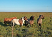 konie na Islandii są bardzo przyjazne i towarzyskie!